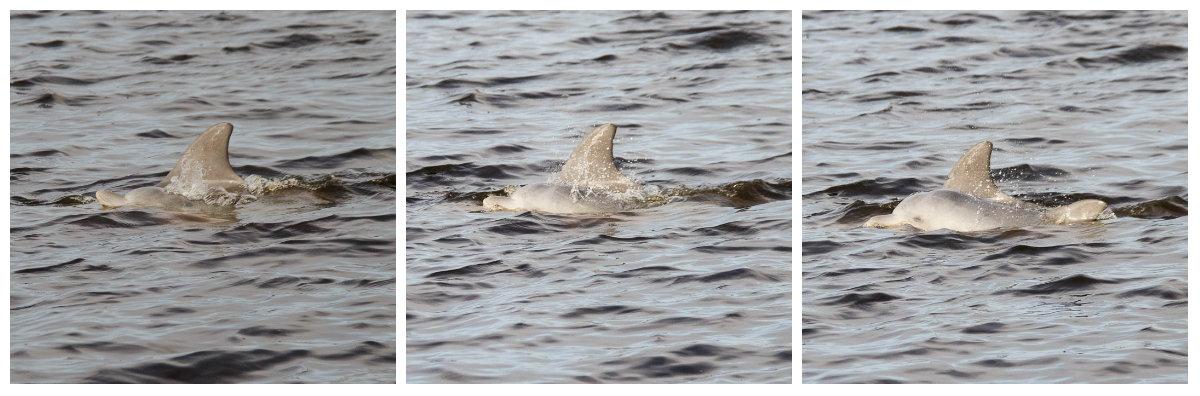 dolphin-calf