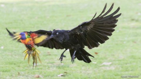 Raven vs lorikeet