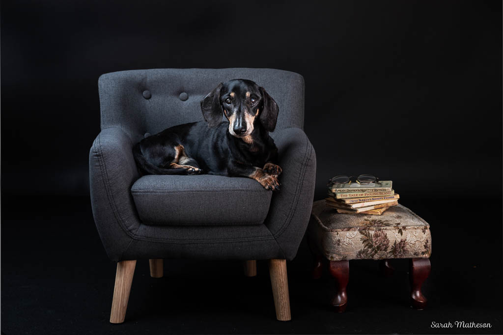 Dachshund in armchair