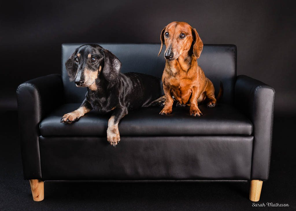 dachshunds on couch