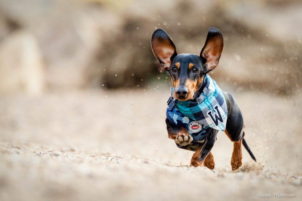 dahchsund running on beach