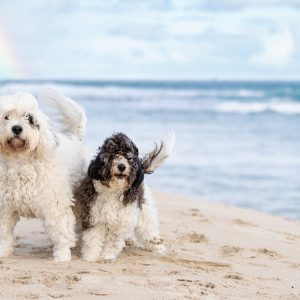 Caviidles at the beach with rainbow