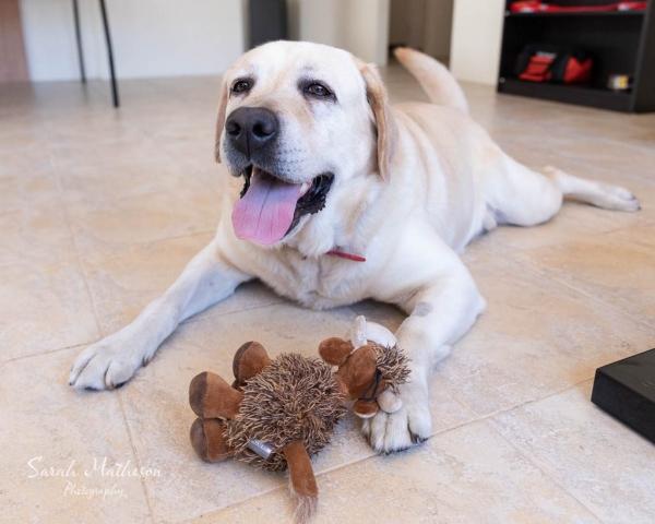 Teddy the labrador