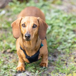 Short haired red dachshund