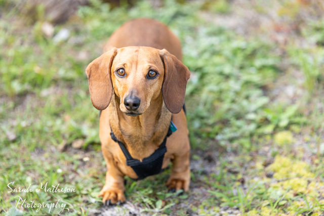 Short haired red dachshund