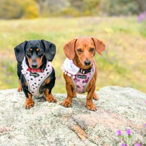 Two dachshunds on a rock