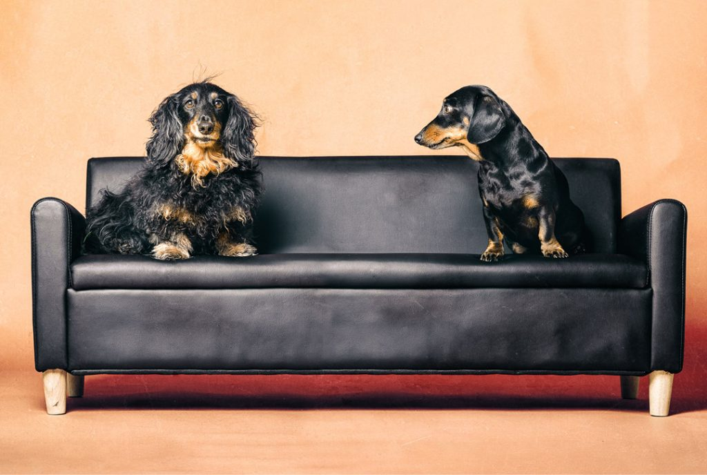 Two dachshunds on a couch
